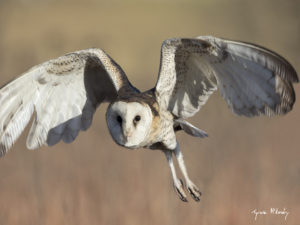 The African Grass-Owl (Tyto capensis) is a red data species that occurs in the GEKCO conservancy. These habitat specialists require specific grassland conditions to survive and reproduce- Photo by Tyrone Mckendry