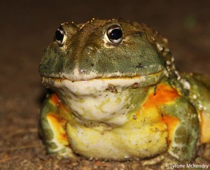 The Giant Bullfrog (Pyxicephalus adspersus) is a red data species that is seen regularly in the GEKCO conservancy after sufficient summer rains- Photo by Tyrone Mckendry