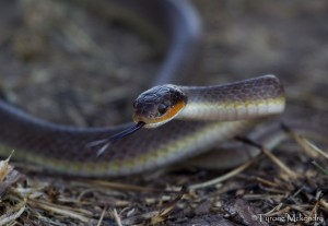 Red-lipped Herald Snake (Crotaphopeltis hotamboeia)- Tyrone Mckendry