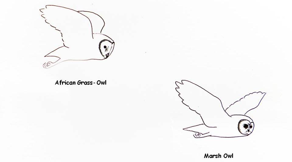 Af Grass Owl vs Marsh Owl