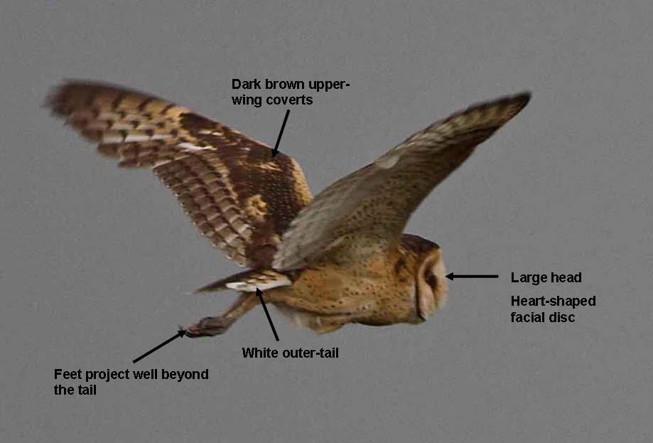 Af Grass Owl