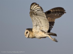 An African Grass-Owl. Photo: Tyrone McKendry and GEKCO