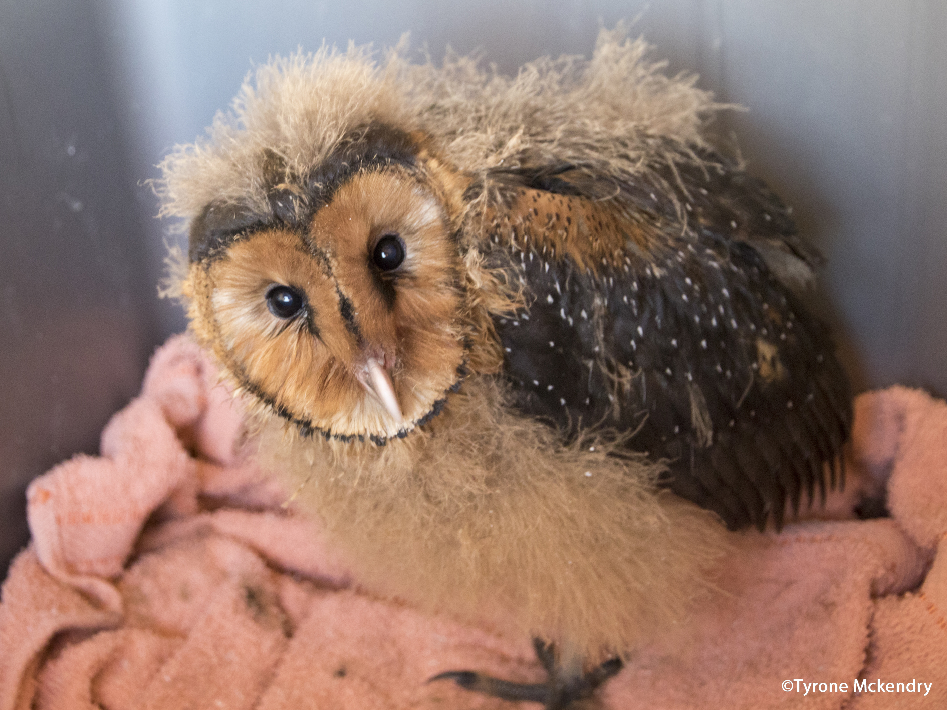 Grass Owl Chick 3 pre-release- Tyrone Mckendry