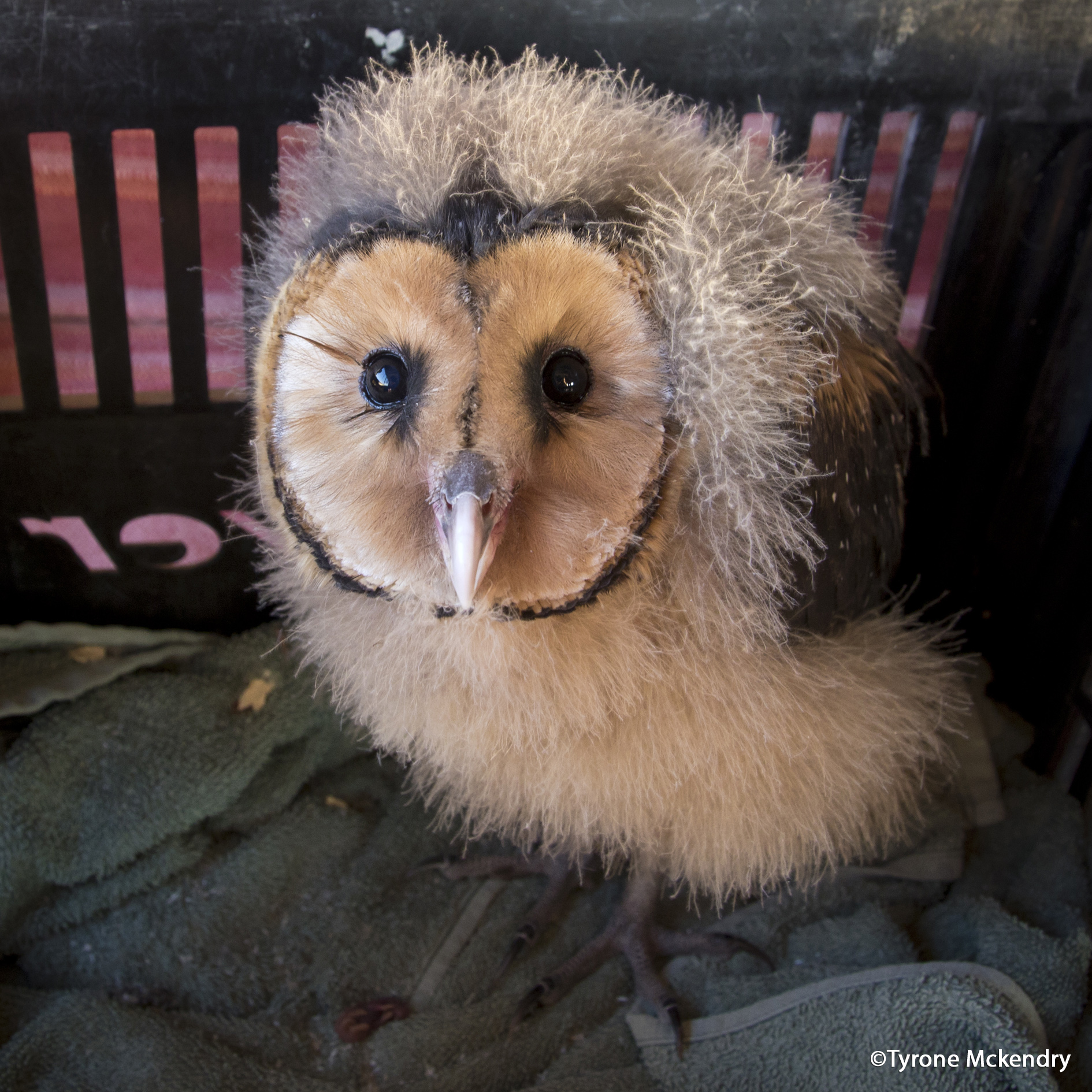 Grass Owl Chick pre-release- Tyrone Mckendry