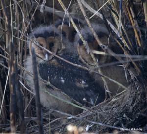 All three Grass Owl chicks safe and sound!