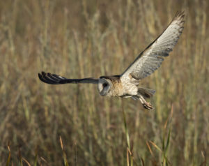 African Grass-Owl in Kyalami. Photo credit: Tyrone Mckendry
