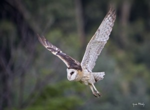 African Grass-Owl in flight.
