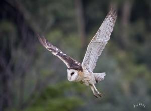 African Grass-Owl in flight.