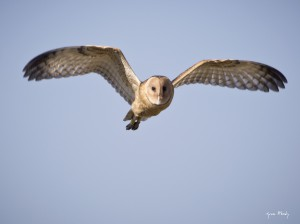African Grass-Owl juvenile with rings.