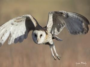 African-Grass-Owl
