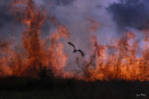 African Grass-Owl escaping a fire that burnt through a nest.