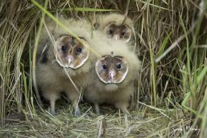 African-Grass-Owl-chicks