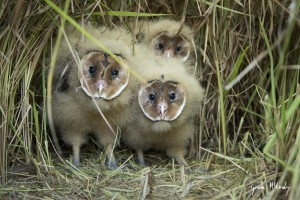 African Grass-Owl chicks