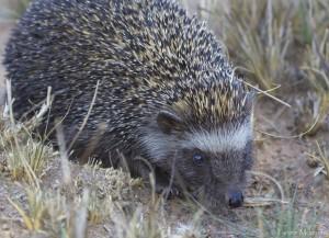 African-Hedgehog