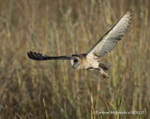 African Grass-Owl 1 sig