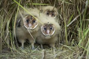 African Grass-Owl chicks sig