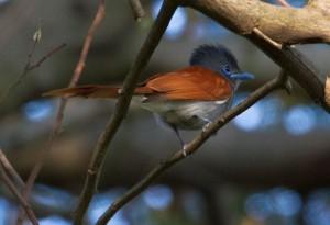 African Paradise Flycatcher 2