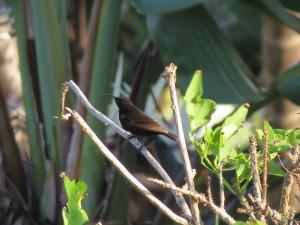 Amethyst sunbird