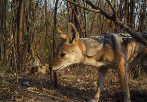 Black-backed-Jackal-1