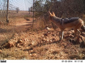 Black-backed-Jackal