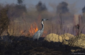Black-headed Heron (2)