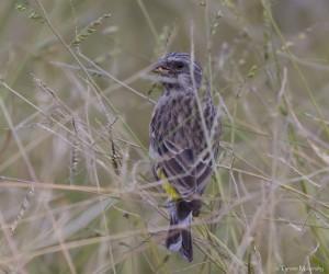 Black-throated Canary 2