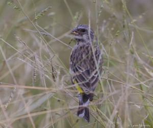 Black-throated Canary 2 (small)