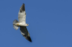 Black-winged (shouldered) Kite- Leon Besaans