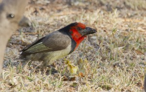 Black Collared Barbet 2