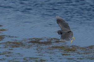 Black Heron- Leon Besaans