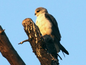 Black Shouldered Kite 2