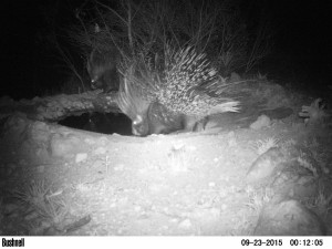 Cape-Porcupine