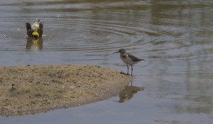 Common Sandpiper (small)