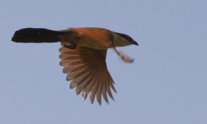 Coucal Flight  5