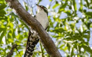 Diederick Cuckoo 1
