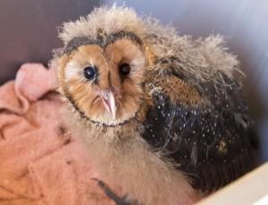African Grass-Owl chick that escaped from a fire that burnt it's nest.