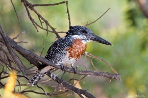 Giant Kingfisher (small)