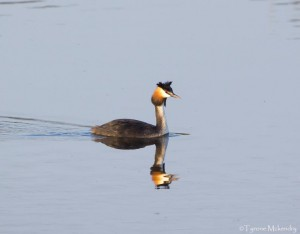 Great Crested Grebe (2)