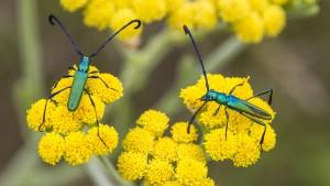 Green Beetles