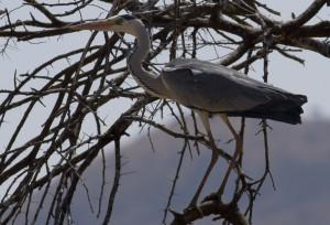 Grey Heron 2