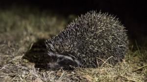 Hedgehog-4