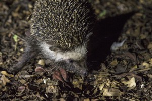 Hedgehog-6