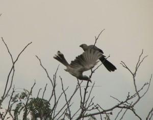 Hornbill Go Away 2
