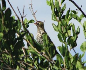 Juvenile Diedericks Cuckoo
