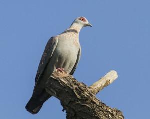 Lappet faced vulture pigeon