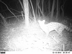 Large-spotted-Genet-1