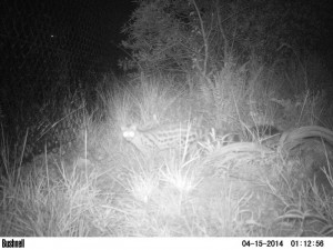 Large-spotted-Genet