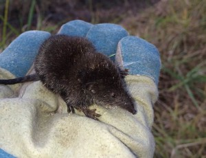 Least-Dwarf-Shrew
