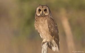 Marsh Owl (2)