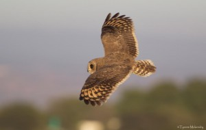 Marsh Owl hunting